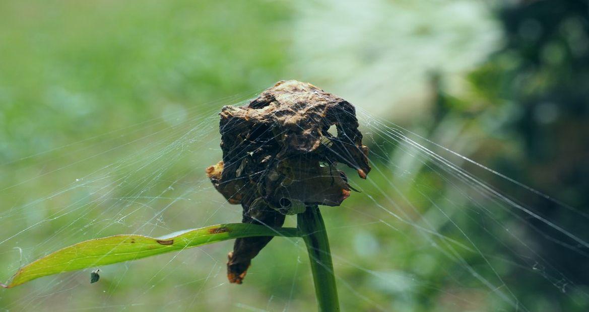 verwelkter Blütenkopf in Spinnennetz