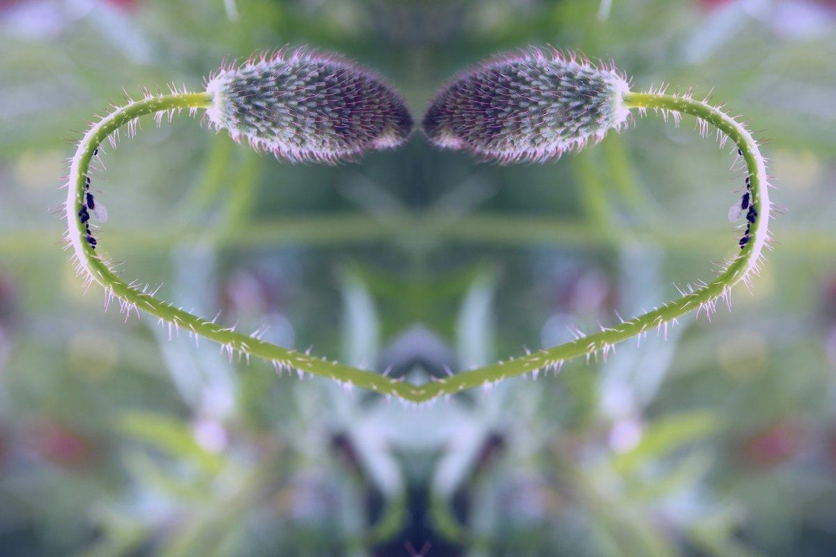 Zwei Mohnkapseln vor der Blüte, die einander mit gebogenen Stielen in Herzform anblicken