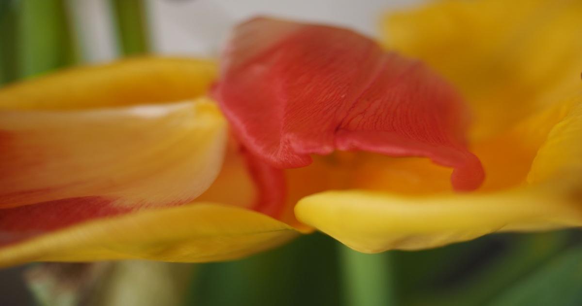 gelbe und rotes Tulpenblatt einander stützend